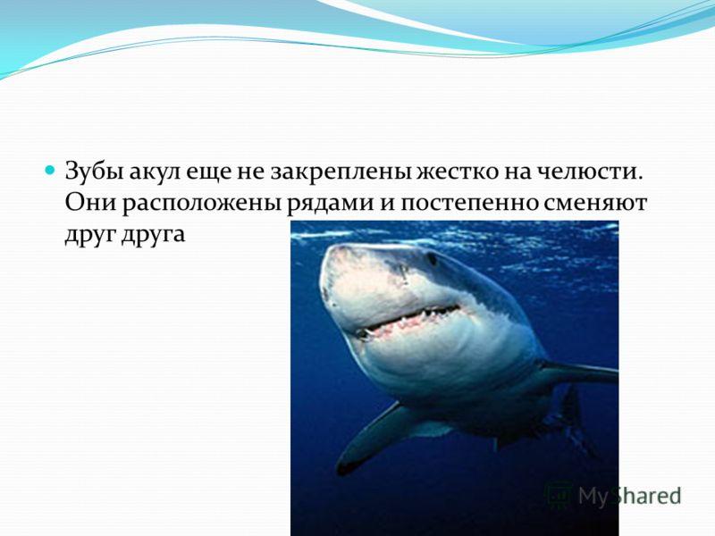 Зубы акул еще не закреплены жестко на челюсти. Они расположены рядами и постепенно сменяют друг друга