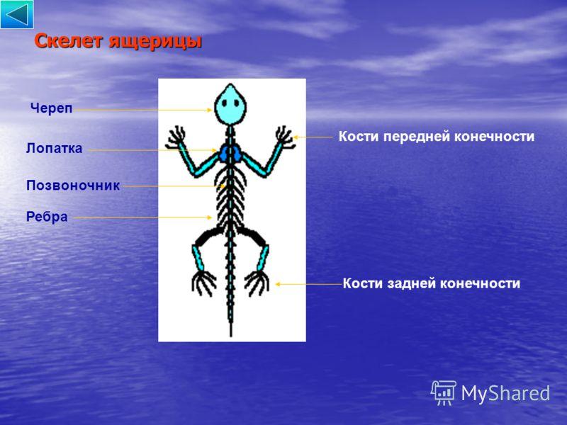 Скелет ящерицы Череп Лопатка Кости передней конечности Кости задней конечности Позвоночник Ребра