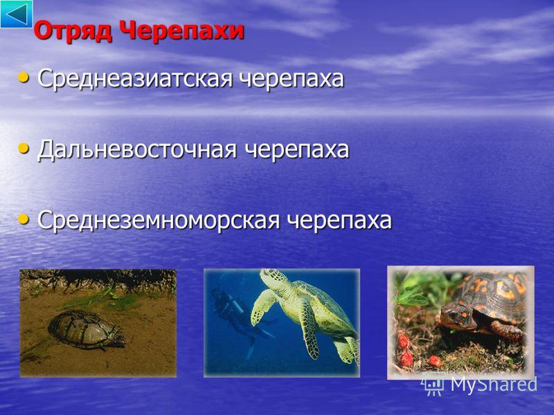 Отряд Черепахи Среднеазиатская черепаха Среднеазиатская черепаха Дальневосточная черепаха Дальневосточная черепаха Среднеземноморская черепаха Среднеземноморская черепаха