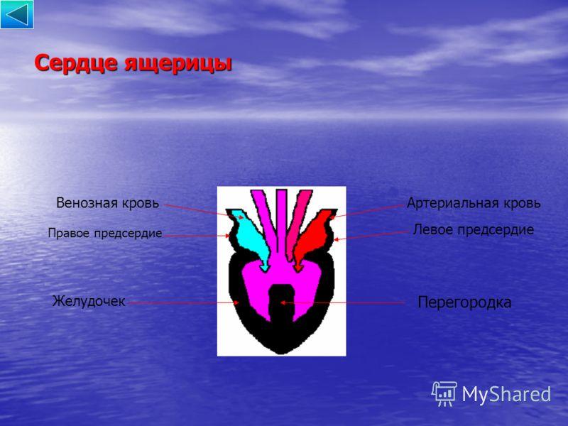 Сердце ящерицы Правое предсердие Левое предсердие Желудочек Перегородка Артериальная кровьВенозная кровь