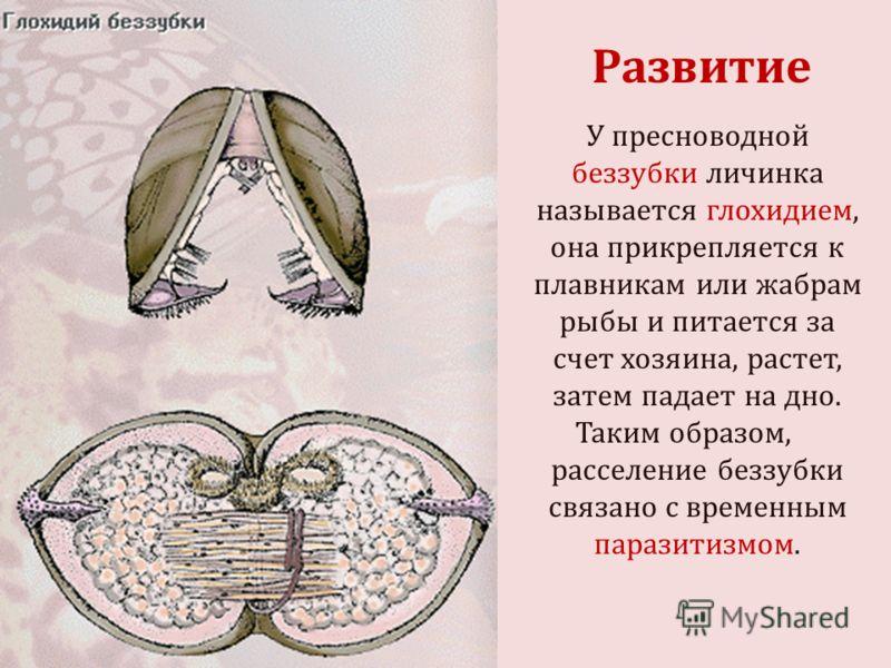 У пресноводной беззубки личинка называется глохидием, она прикрепляется к плавникам или жабрам рыбы и питается за счет хозяина, растет, затем падает на дно. Таким образом, расселение беззубки связано с временным паразитизмом. Развитие