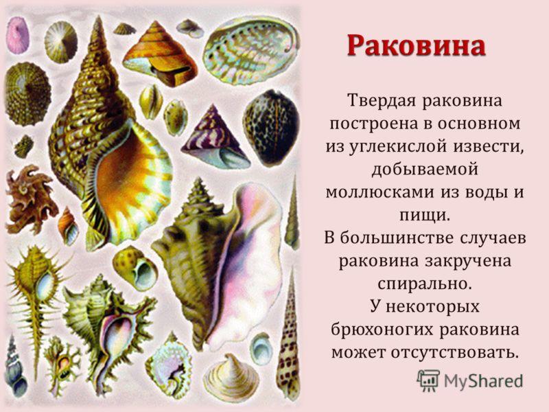 Твердая раковина построена в основном из углекислой извести, добываемой моллюсками из воды и пищи. В большинстве случаев раковина закручена спирально. У некоторых брюхоногих раковина может отсутствовать.