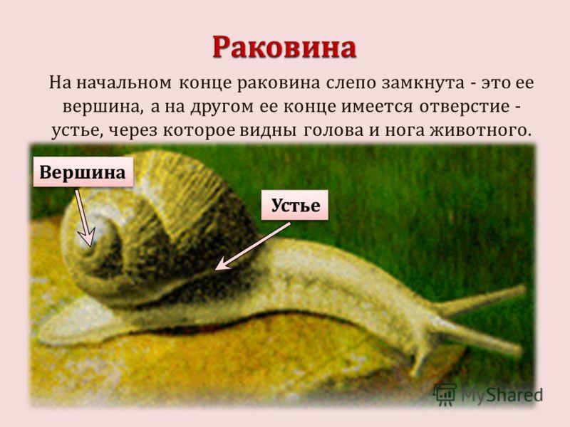 На начальном конце раковина слепо замкнута - это ее вершина, а на другом ее конце имеется отверстие - устье, через которое видны голова и нога животного. Вершина Устье