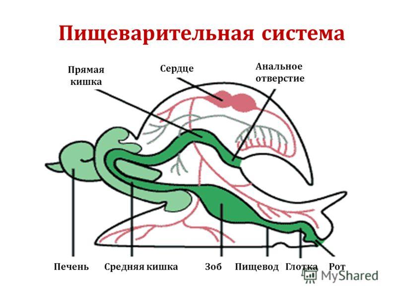 Прямая кишка Сердце Анальное отверстие Печень Средняя кишка Зоб Пищевод Глотка Рот Пищеварительная система
