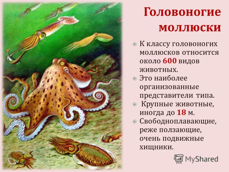 К классу головоногих моллюсков относится около 600 видов животных. Это наиболее организованные представители типа. Крупные животные, иногда до 18 м. Свободноплавающие, реже ползающие, очень подвижные хищники.