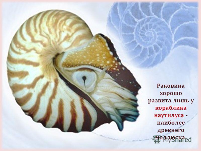 Раковина хорошо развита лишь у кораблика наутилуса - наиболее древнего моллюска.