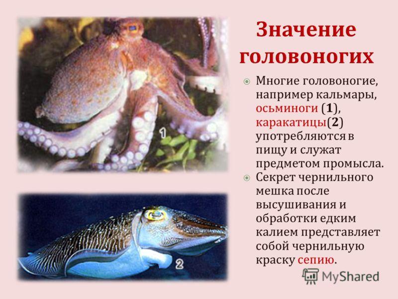Многие головоногие, например кальмары, осьминоги (1), каракатицы (2) употребляются в пищу и служат предметом промысла. Секрет чернильного мешка после высушивания и обработки едким калием представляет собой чернильную краску сепию.