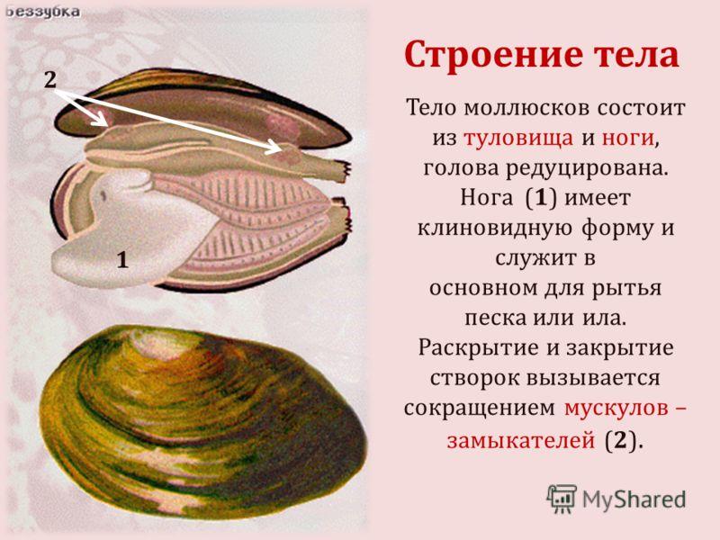 Тело моллюсков состоит из туловища и ноги, голова редуцирована. Нога (1) имеет клиновидную форму и служит в основном для рытья песка или ила. Раскрытие и закрытие створок вызывается сокращением мускулов – замыкателей (2). 1 2 Строение тела