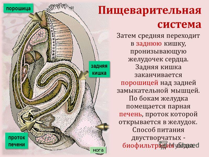 Затем средняя переходит в заднюю кишку, пронизывающую желудочек сердца. Задняя кишка заканчивается порошицей над задней замыкательной мышцей. По бокам желудка помещается парная печень, проток которой открывается в желудок.. Способ питания двустворчат