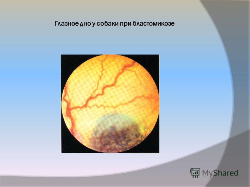 Глазное дно у собаки при бластомикозе