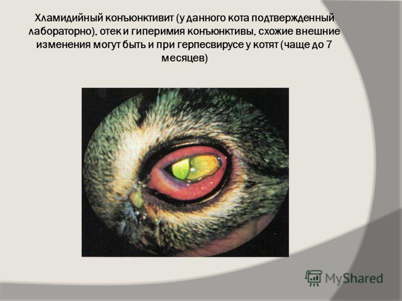 Хламидийный конъюнктивит (у данного кота подтвержденный лабораторно), отек и гиперимия конъюнктивы, схожие внешние изменения могут быть и при герпесвирусе у котят (чаще до 7 месяцев)