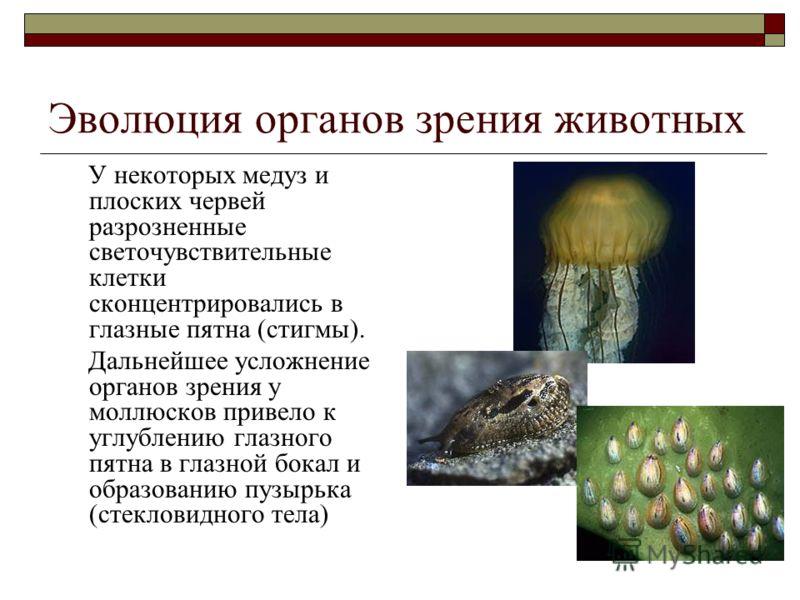 Эволюция органов зрения животных У некоторых медуз и плоских червей разрозненные светочувствительные клетки сконцентрировались в глазные пятна (стигмы). Дальнейшее усложнение органов зрения у моллюсков привело к углублению глазного пятна в глазной бо