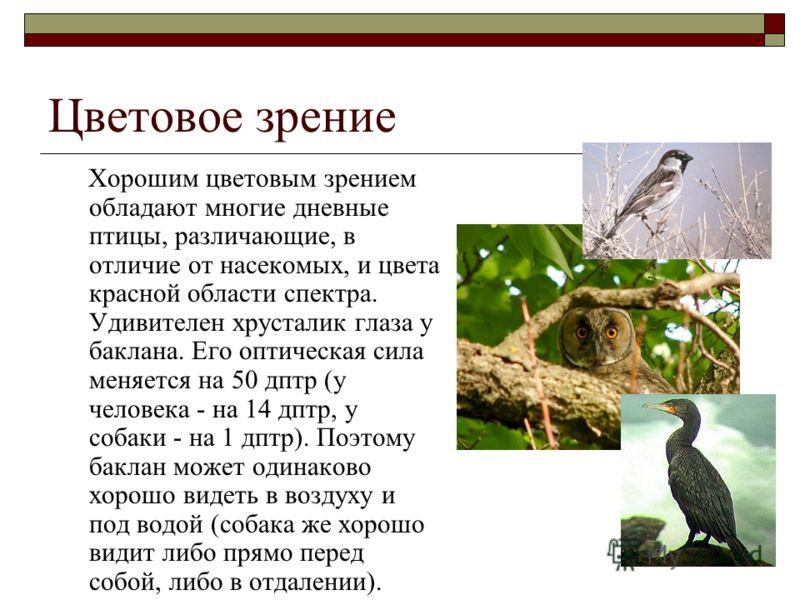 Цветовое зрение Хорошим цветовым зрением обладают многие дневные птицы, различающие, в отличие от насекомых, и цвета красной области спектра. Удивителен хрусталик глаза у баклана. Его оптическая сила меняется на 50 дптр (у человека - на 14 дптр, у со