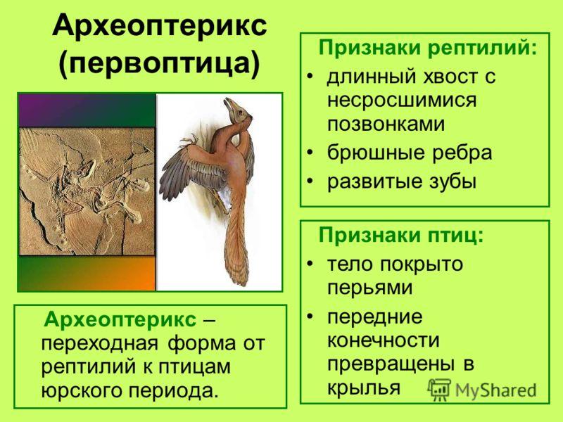 Археоптерикс (первоптица) Археоптерикс – переходная форма от рептилий к птицам юрского периода. Признаки рептилий: длинный хвост с несросшимися позвонками брюшные ребра развитые зубы Признаки птиц: тело покрыто перьями передние конечности превращены