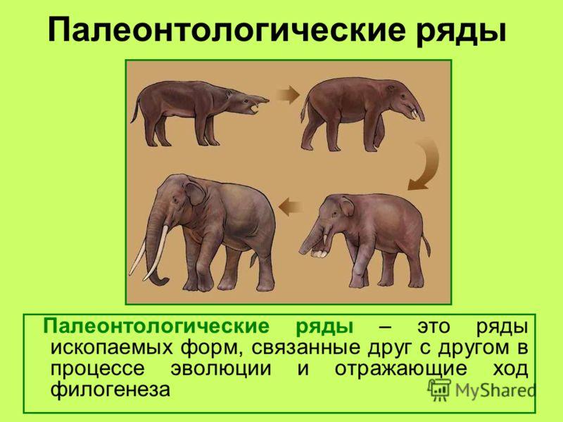 Палеонтологические ряды Палеонтологические ряды – это ряды ископаемых форм, связанные друг с другом в процессе эволюции и отражающие ход филогенеза