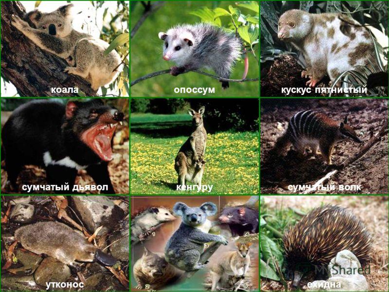 коалаопоссумкускус пятнистый ехиднаутконос сумчатый дьяволсумчатый волккенгуру