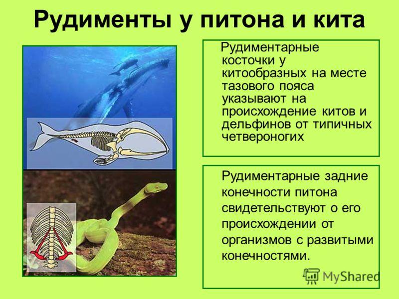 Рудименты у питона и кита Рудиментарные косточки у китообразных на месте тазового пояса указывают на происхождение китов и дельфинов от типичных четвероногих Рудиментарные задние конечности питона свидетельствуют о его происхождении от организмов с р
