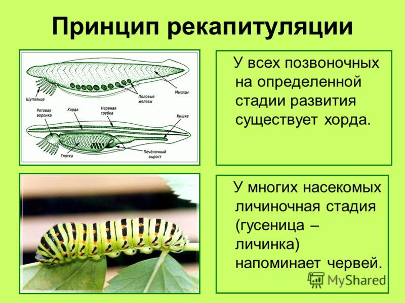 Принцип рекапитуляции У всех позвоночных на определенной стадии развития существует хорда. У многих насекомых личиночная стадия (гусеница – личинка) напоминает червей.