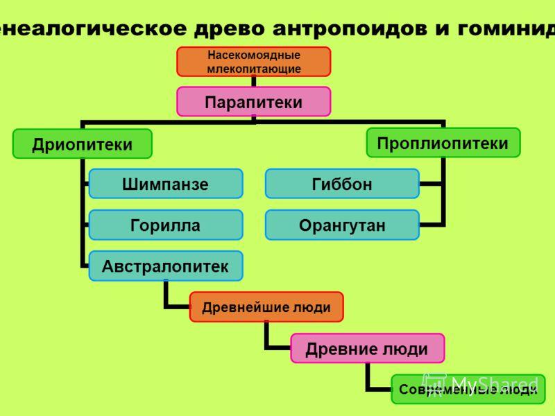 Генеалогическое древо антропоидов и гоминид Насекомоядные млекопитающие Парапитеки Дриопитеки Шимпанзе Горилла Австралопитек Древнейшие люди Древние люди Современные люди Проплиопитеки Гиббон Орангутан