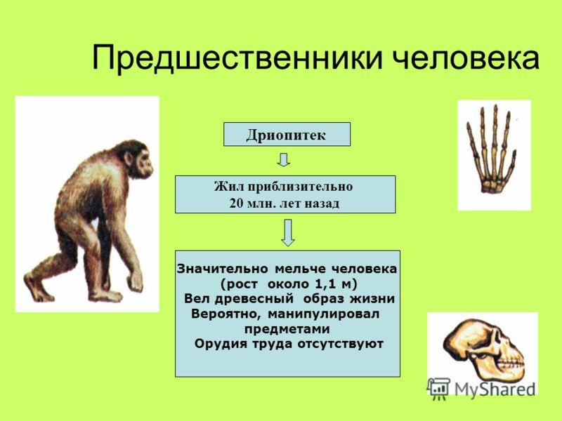Предшественники человека Дриопитек Жил приблизительно 20 млн. лет назад Значительно мельче человека (рост около 1,1 м) Вел древесный образ жизни Вероятно, манипулировал предметами Орудия труда отсутствуют