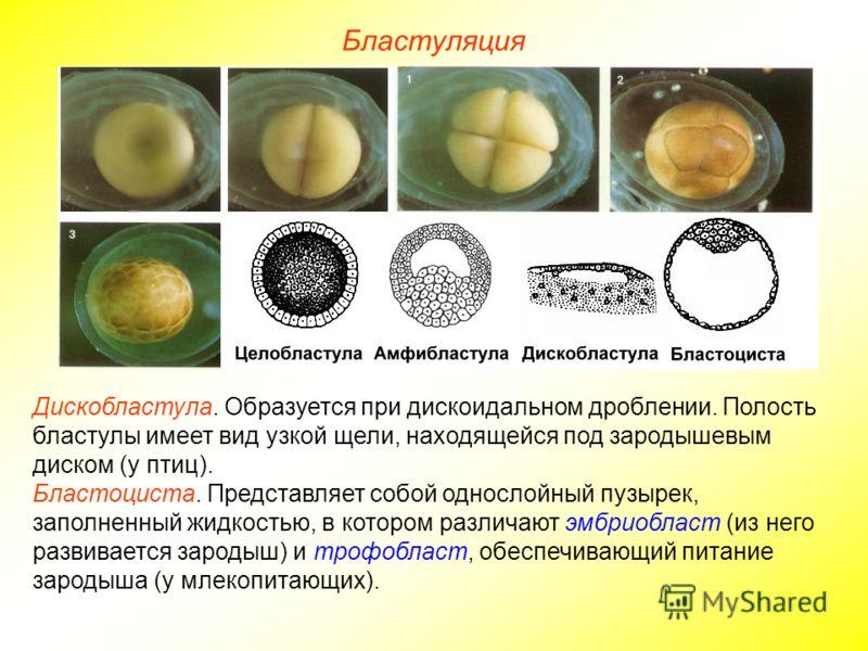 Бластуляция Дискобластула. Образуется при дискоидальном дроблении. Полость бластулы имеет вид узкой щели, находящейся под зародышевым диском (у птиц). Бластоциста. Представляет собой однослойный пузырек, заполненный жидкостью, в котором различают эмб