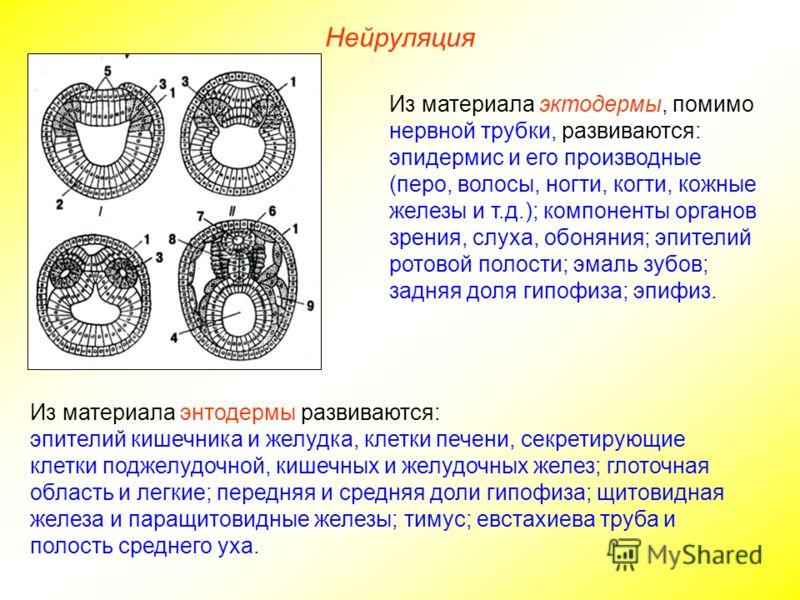 Нейруляция Из материала эктодермы, помимо нервной трубки, развиваются: эпидермис и его производные (перо, волосы, ногти, когти, кожные железы и т.д.); компоненты органов зрения, слуха, обоняния; эпителий ротовой полости; эмаль зубов; задняя доля гипо
