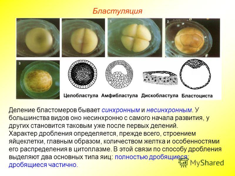 Деление бластомеров бывает синхронным и несинхронным. У большинства видов оно несинхронно с самого начала развития, у других становится таковым уже после первых делений. Характер дробления определяется, прежде всего, строением яйцеклетки, главным обр