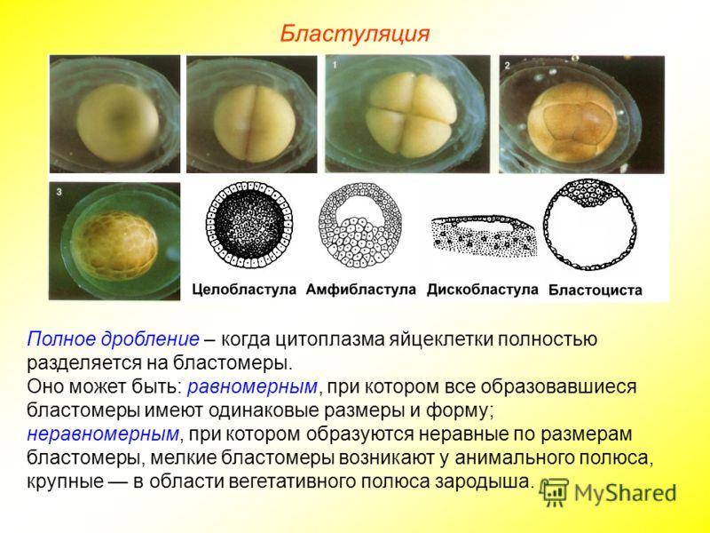 Бластуляция Полное дробление – когда цитоплазма яйцеклетки полностью разделяется на бластомеры. Оно может быть: равномерным, при котором все образовавшиеся бластомеры имеют одинаковые размеры и форму; неравномерным, при котором образуются неравные по