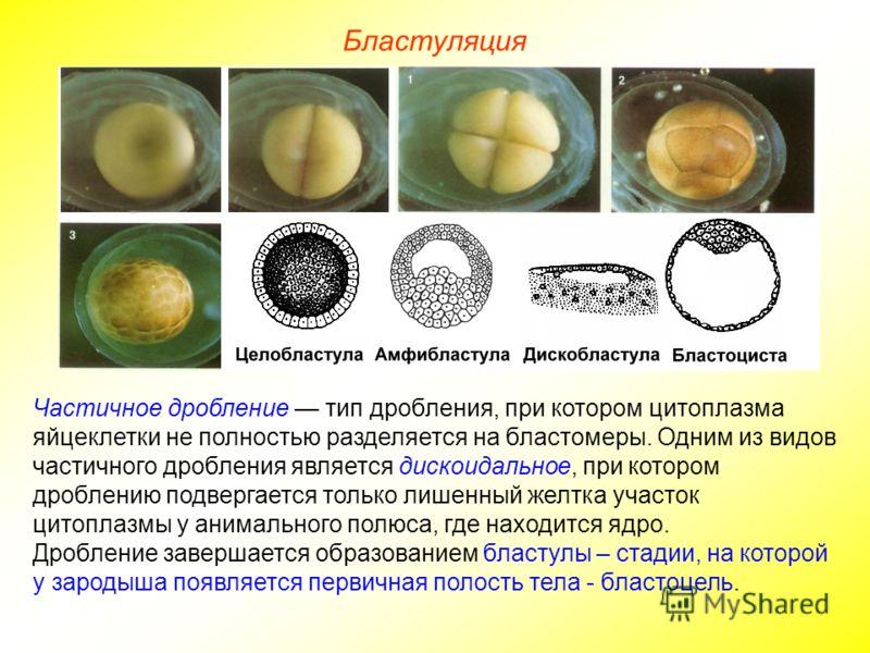 Бластуляция Частичное дробление тип дробления, при котором цитоплазма яйцеклетки не полностью разделяется на бластомеры. Одним из видов частичного дробления является дискоидальное, при котором дроблению подвергается только лишенный желтка участок цит