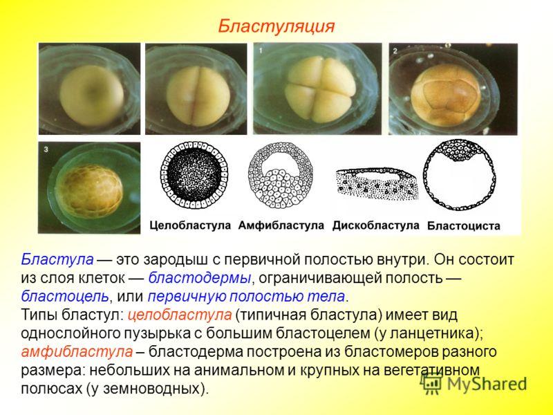 Бластуляция Бластула это зародыш с первичной полостью внутри. Он состоит из слоя клеток бластодермы, ограничивающей полость бластоцель, или первичную полостью тела. Типы бластул: целобластула (типичная бластула) имеет вид однослойного пузырька с боль