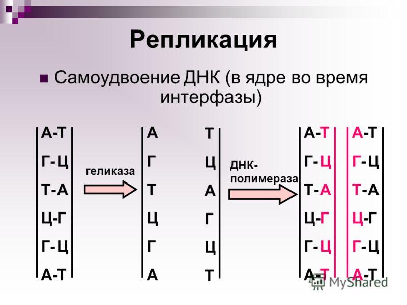 Репликация Самоудвоение ДНК (в ядре во время интерфазы) геликаза АГТЦГААГТЦГА ТЦАГЦТТЦАГЦТ ТЦАГЦТТЦАГЦТ А- Г- Т- Ц- Г- А- ДНК- полимераза ТЦАГЦТТЦАГЦТ А- Г- Т- Ц- Г- А- ТЦАГЦТТЦАГЦТ А-Г-Т-Ц-Г-А-А-Г-Т-Ц-Г-А-