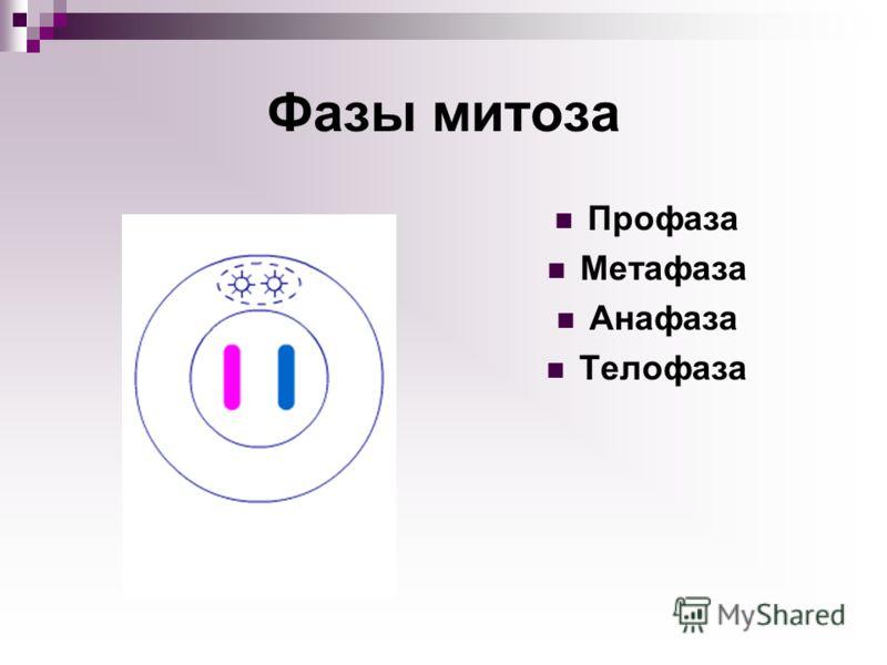 Фазы митоза Профаза Метафаза Анафаза Телофаза