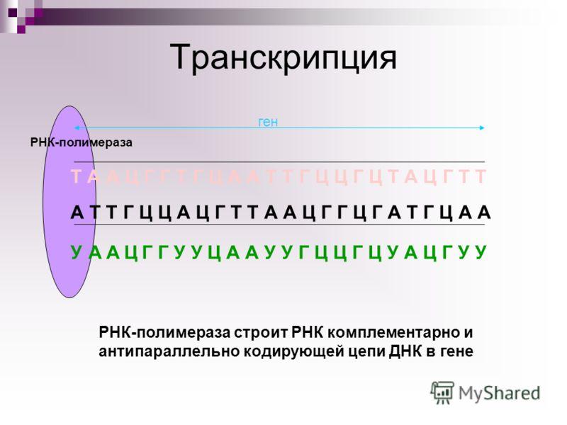 РНК-полимераза Транскрипция А Т Т Г Ц Ц А Ц Г Т Т А А Ц Г Г Ц Г А Т Г Ц А А Т А А Ц Г Г Т Г Ц А А Т Т Г Ц Ц Г Ц Т А Ц Г Т Т ген УАЦАГ Г У У Ц А А У У Г Ц Ц Г Ц У А Ц Г У У РНК-полимераза строит РНК комплементарно и антипараллельно кодирующей цепи ДНК