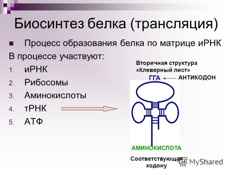 Процесс образования белка по матрице иРНК В процессе участвуют: 1. иРНК 2. Рибосомы 3. Аминокислоты 4. тРНК 5. АТФ Биосинтез белка (трансляция) ГГА АНТИКОДОН АМИНОКИСЛОТА Соответствующая кодону Вторичная структура «Клеверный лист»