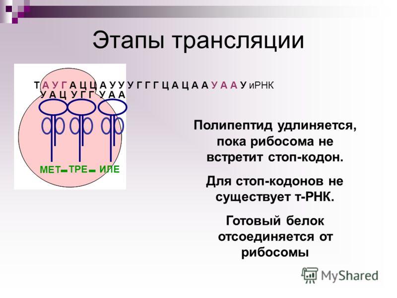 Т А У Г А Ц Ц А У У У Г Г Г Ц А Ц А А У А А У иРНК У А Ц МЕТ У Г Г ТРЕ У А А ИЛЕ Полипептид удлиняется, пока рибосома не встретит стоп-кодон. Для стоп-кодонов не существует т-РНК. Готовый белок отсоединяется от рибосомы Этапы трансляции