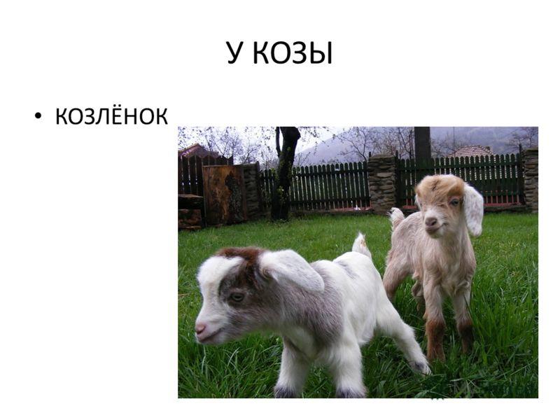 У КОЗЫ КОЗЛЁНОК