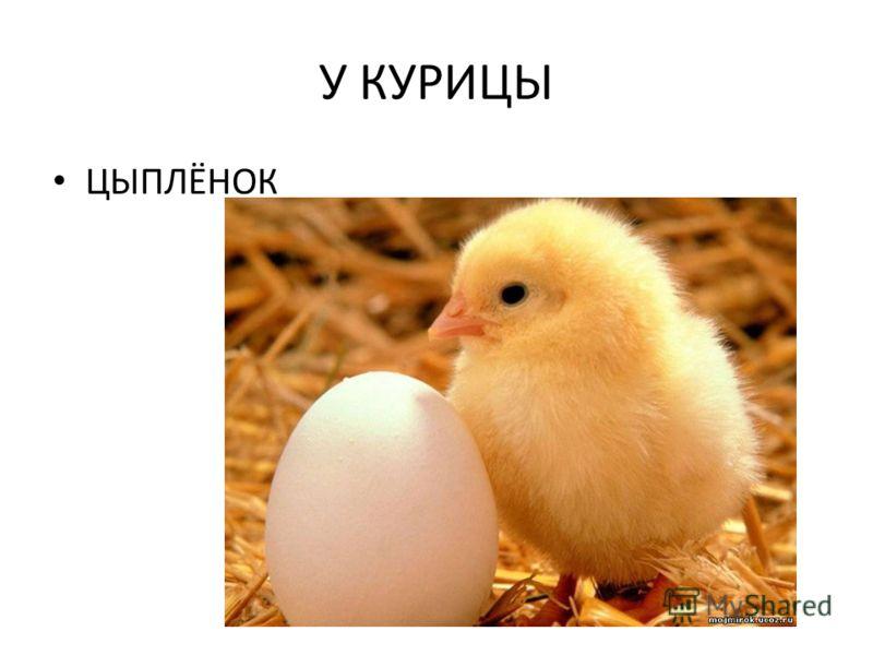 У КУРИЦЫ ЦЫПЛЁНОК