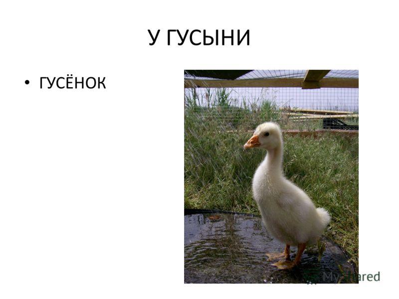 У ГУСЫНИ ГУСЁНОК