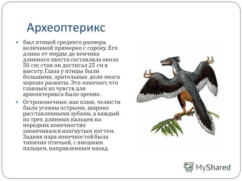 Археоптерикс был птицей среднего размера, величиной примерно с сороку. Его длина от морды до кончика длинного хвоста составляла около 50 см ; стоя он достигал 25 см в высоту. Глаза у птицы были большими, зрительные доли мозга хорошо развиты. Это озна