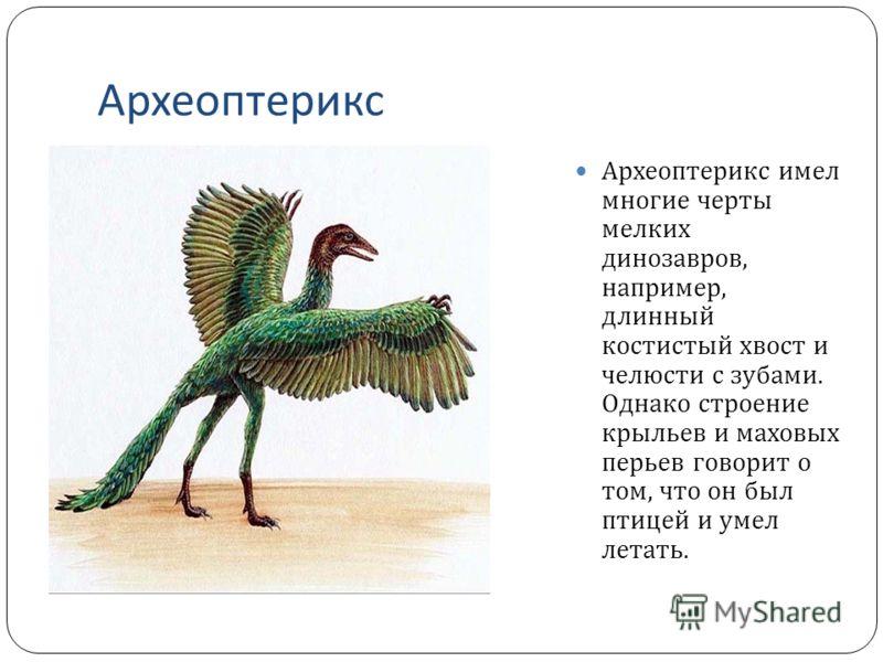 Археоптерикс Археоптерикс имел многие черты мелких динозавров, например, длинный костистый хвост и челюсти с зубами. Однако строение крыльев и маховых перьев говорит о том, что он был птицей и умел летать.