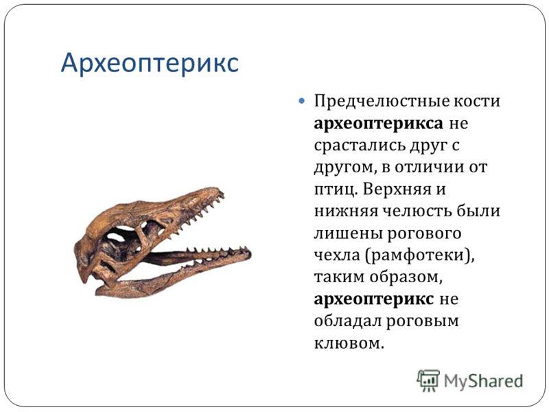 Археоптерикс Предчелюстные кости археоптерикса не срастались друг с другом, в отличии от птиц. Верхняя и нижняя челюсть были лишены рогового чехла ( рамфотеки ), таким образом, археоптерикс не обладал роговым клювом.