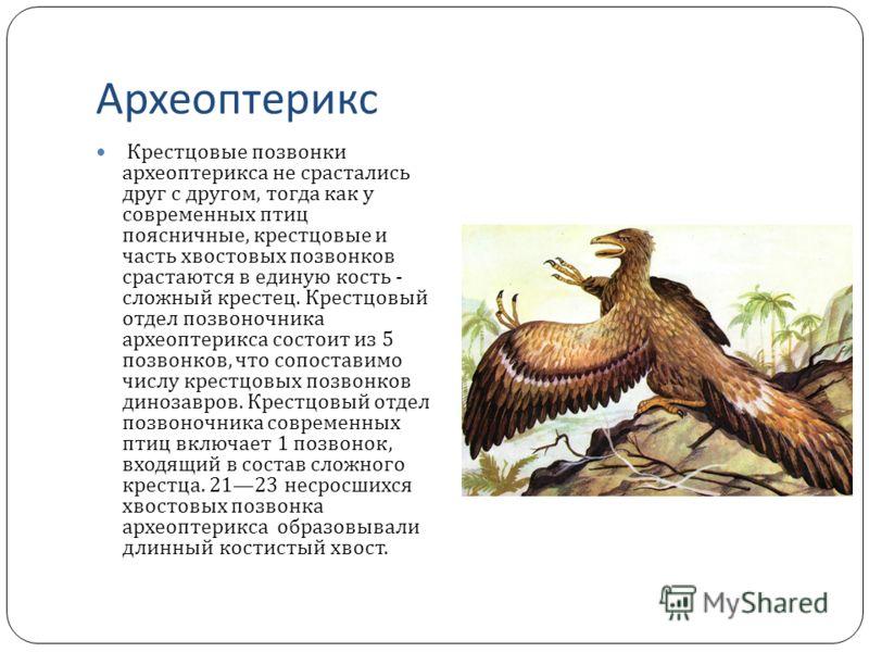 Археоптерикс Крестцовые позвонки археоптерикса не срастались друг с другом, тогда как у современных птиц поясничные, крестцовые и часть хвостовых позвонков срастаются в единую кость - сложный крестец. Крестцовый отдел позвоночника археоптерикса состо