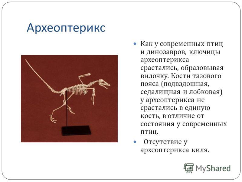 Археоптерикс Как у современных птиц и динозавров, ключицы археоптерикса срастались, образовывая вилочку. Кости тазового пояса ( подвздошная, седалищная и лобковая ) у археоптерикса не срастались в единую кость, в отличие от состояния у современных пт