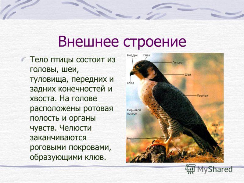 Внешнее строение Тело птицы состоит из головы, шеи, туловища, передних и задних конечностей и хвоста. На голове расположены ротовая полость и органы ч
