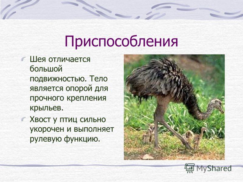 Приспособления Шея отличается большой подвижностью. Тело является опорой для прочного крепления крыльев. Хвост у птиц сильно укорочен и выполняет рулевую функцию.