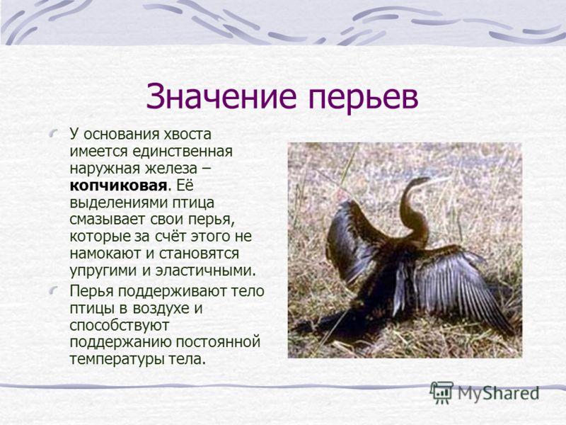 Значение перьев У основания хвоста имеется единственная наружная железа – копчиковая. Её выделениями птица смазывает свои перья, которые за счёт этого
