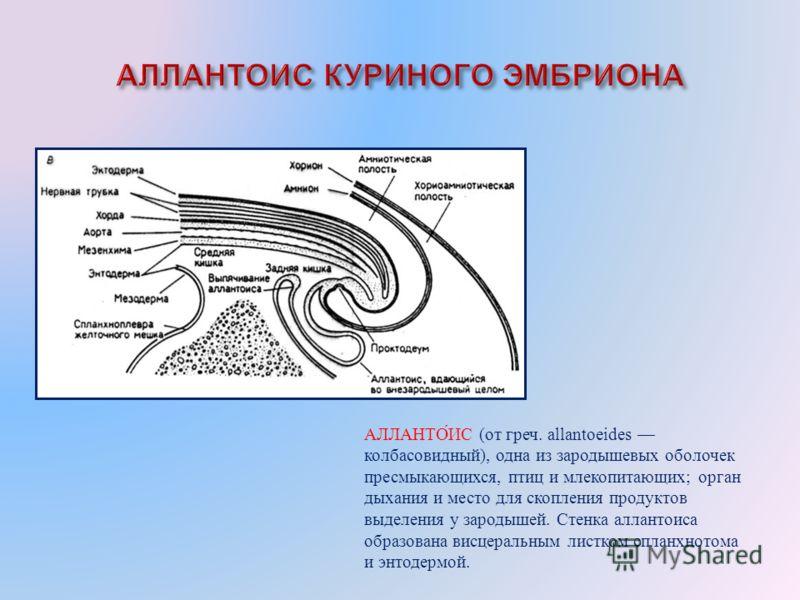 АЛЛАНТОИС ( от греч. allantoeides колбасовидный ), одна из зародышевых оболочек пресмыкающихся, птиц и млекопитающих ; орган дыхания и место для скопления продуктов выделения у зародышей. Стенка аллантоиса образована висцеральным листком спланхнотома