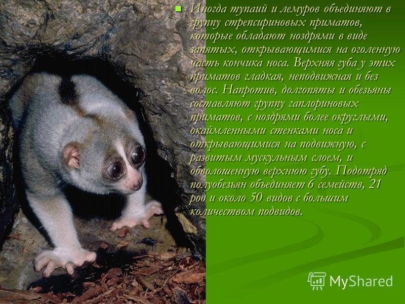 Иногда тупаий и лемуров объединяют в группу стрепсириновых приматов, которые обладают ноздрями в виде запятых, открывающимися на оголенную часть кончика носа. Верхняя губа у этих приматов гладкая, неподвижная и без волос. Напротив, долгопяты и обезья