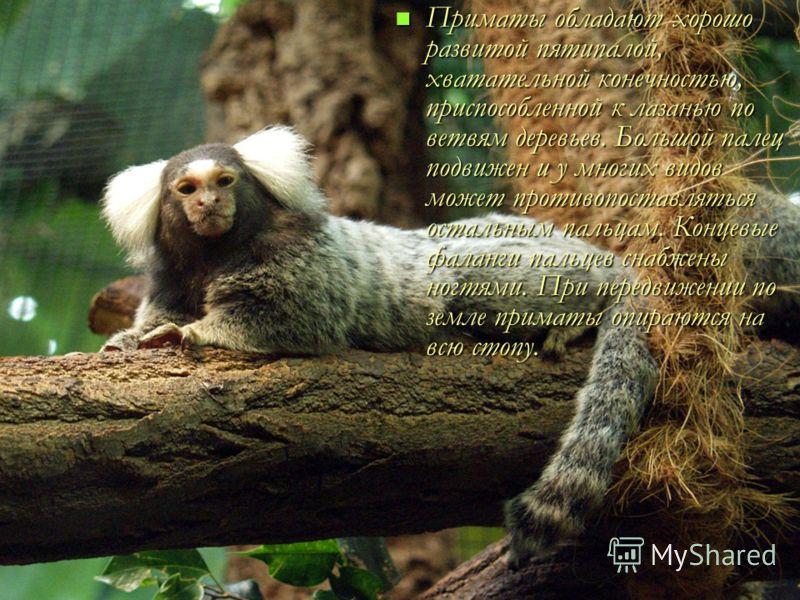 Приматы обладают хорошо развитой пятипалой, хватательной конечностью, приспособленной к лазанью по ветвям деревьев. Большой палец подвижен и у многих видов может противопоставляться остальным пальцам. Концевые фаланги пальцев снабжены ногтями. При пе