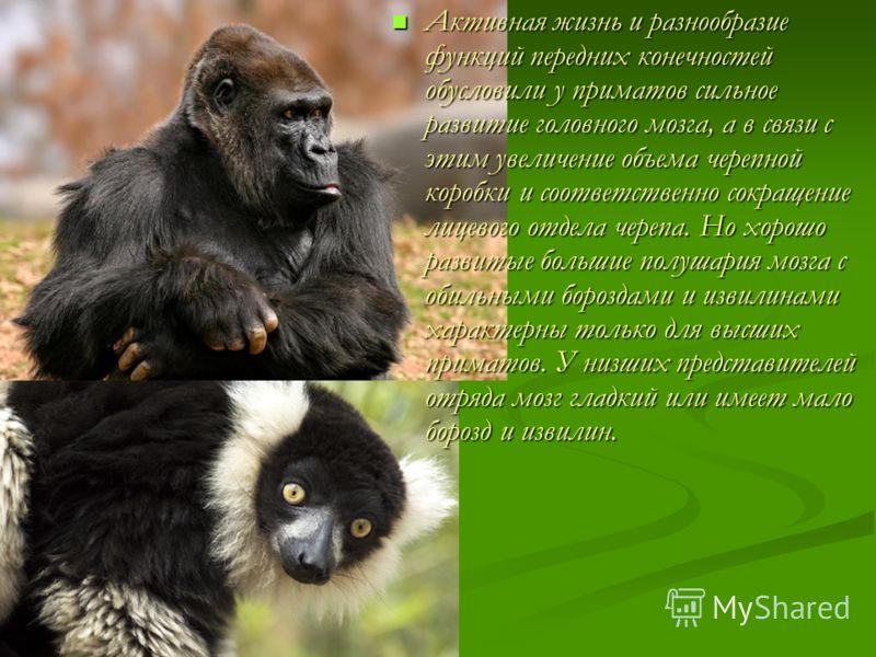 Активная жизнь и разнообразие функций передних конечностей обусловили у приматов сильное развитие головного мозга, а в связи с этим увеличение объема черепной коробки и соответственно сокращение лицевого отдела черепа. Но хорошо развитые большие полу